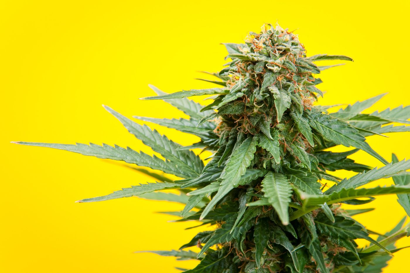 Cannaboid Treatment – A Natural Remedy For All